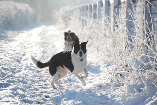 Dogs playing in the snow.