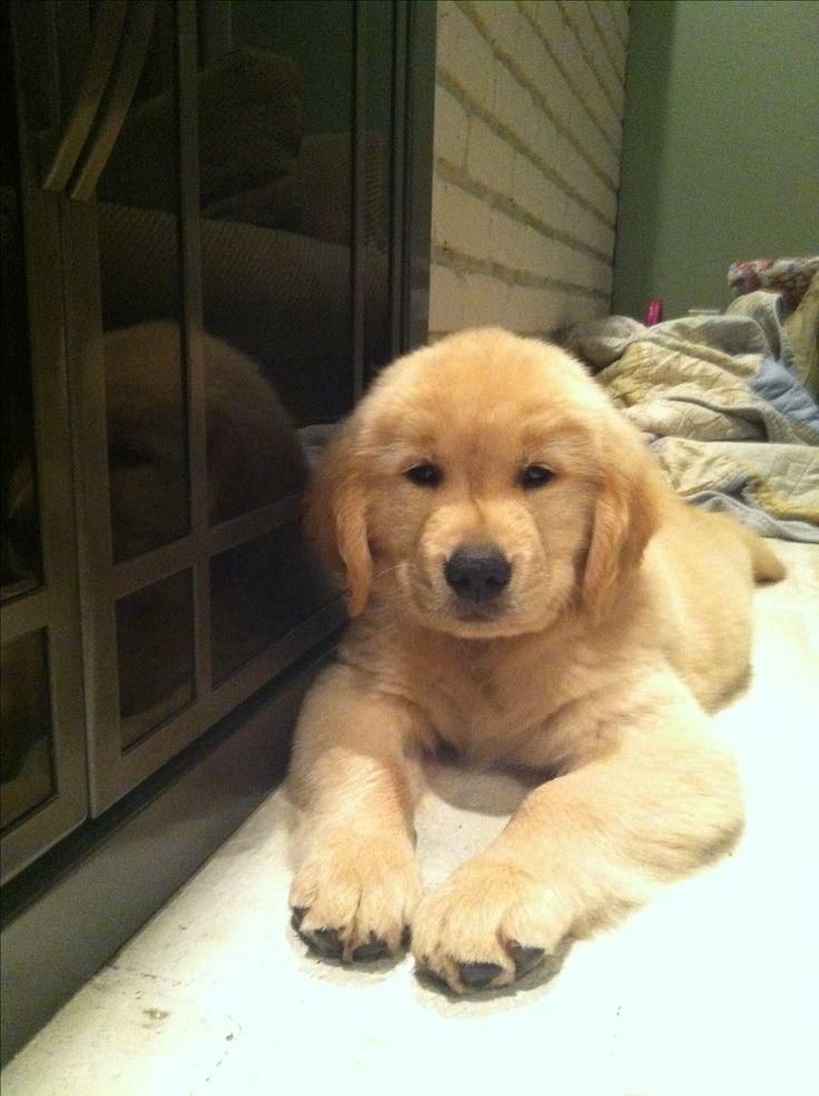 My golden retriever puppy - so sweet!