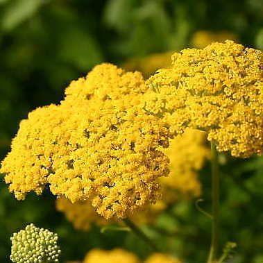 Herb: Golden Yarrow (Achillea) 200 seeds: Sale! Buy 3 get 1 free!
