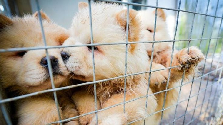 Illegal Puppy Trade Surges At Christmas Time