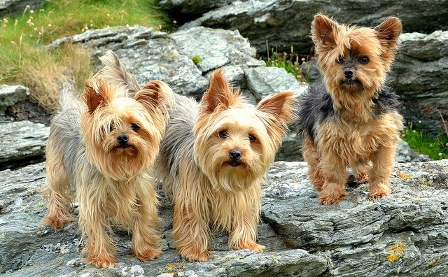 Love the side-part... These Yorkies sure look stylish!
