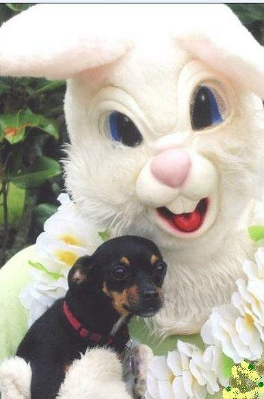 30 best hoppy easter easter ideas for dogs images on pinterest im a better easter bunny negle Images