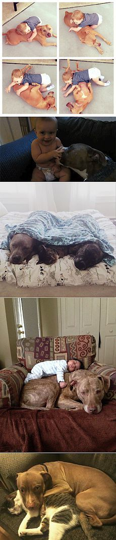 20 доказательств того, что питбули – это самые ласковые собаки в мире | Позитив в картинках и не только