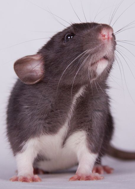I'm writing a paper to convince my dad to let me get a rat...?