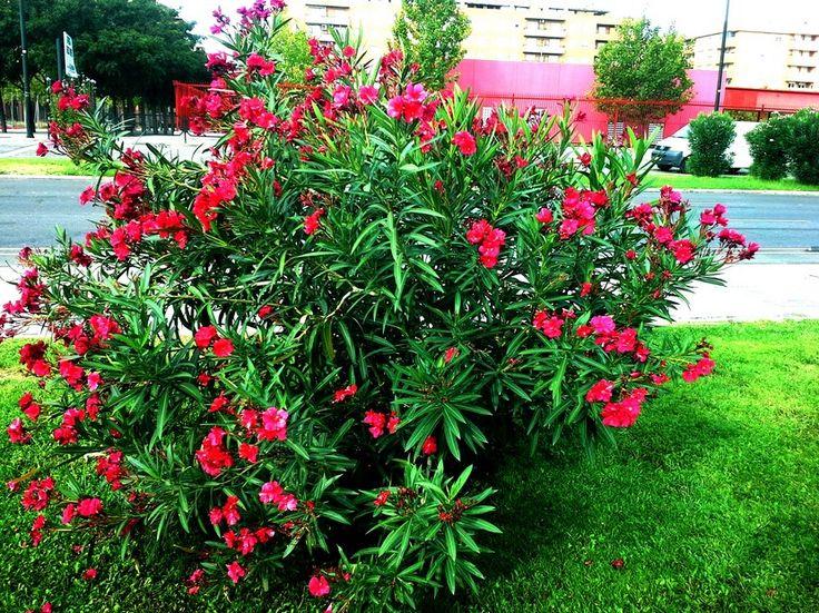 La poda de la Adelfa - http://www.jardineriaon.com/la-poda-la-adelfa.html #plantas