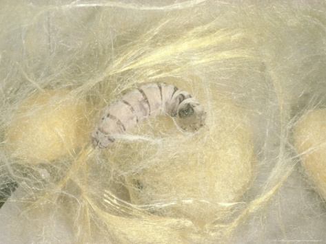 Silk moth spinning cocoon. Google Image Result for http://imgc.artprintimages.com/images/art-print/silk-moth-spinning-cocoon_i-G-29-2910-Z1SPD00Z.jpg