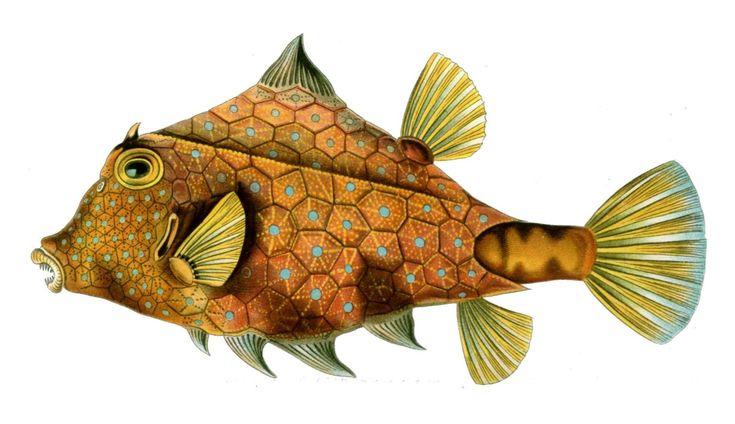 File:Tetrosomus gibbosus.jpg