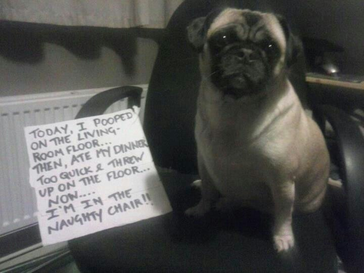17 Best Images About Pugs On Pinterest Dog Ring Bearers