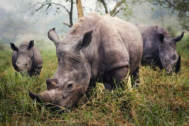 「トラベラーズ・フォトコンテスト(Traveler Photo Contest) 2015」> 「The power of few」> アフリカ・ウガンダの「 Ziwa Rhino Sanctuary」で撮影された三頭のシロサイ。シロサイは絶滅危惧種であり、特にキタシロサイは動物園で飼育されている4頭のみしか生存が確認されていない。