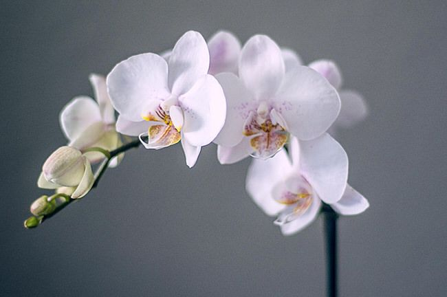 I never thought I could grow an orchid, let alone more than one. Their reputation for being finicky scared me off… after all, who wants to spend money on a plant that practically assures you... Read More