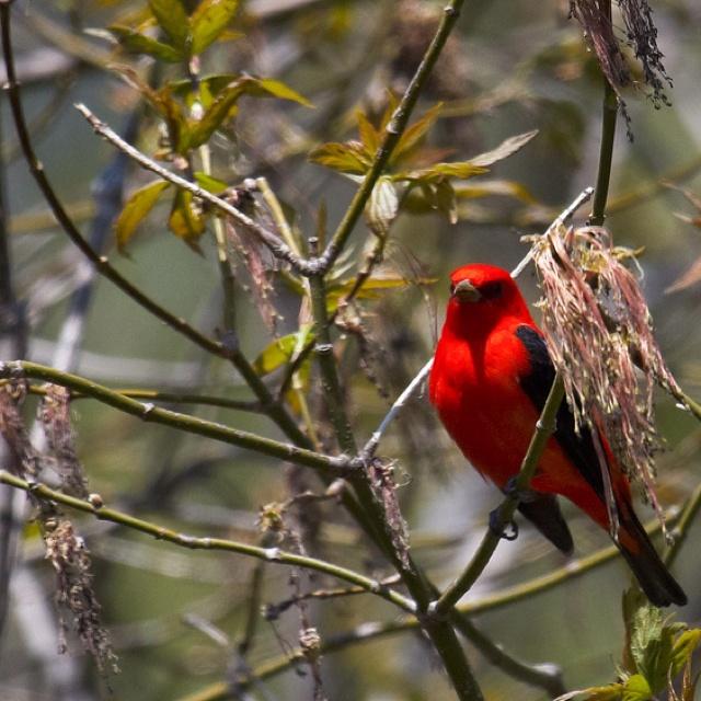 Scarlet Tanager - Presqu'ile Provincial Park, Brighton Ontario.