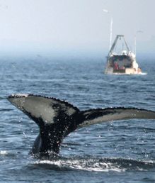 Nordmænd vil ikke længere spise hvalkød