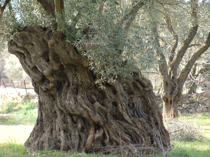 Big fat Mamma olive tree, island of Lesvos, Greece