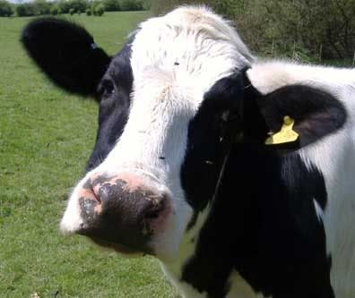 White Face Cattle For Sale | ... Not mine. And isn't that a gorgeous cow? Look at that sweet cow face