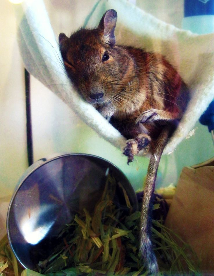 Maybe a chinchilla should have a degu buddy! One of the many reasons Degus are amazing animals: Not only do they sing like a bubbling bird when they're happy, but they laze around like humans. Adorable!