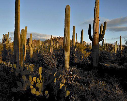 Saguaro National Park ,AZFavorite Places, Saguaro National Parks, Parks Az, Trips 1980