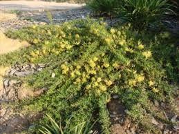 Grevillea juniper 'prostrate yellow'