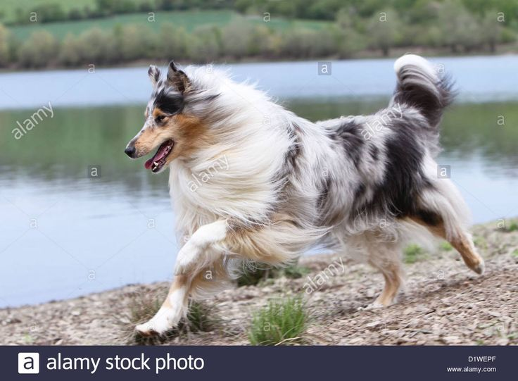 dog-rough-collie-scottish-collie-adult-blue-merle-running-on-the-edge-D1WEPF.jpg (1300×956)