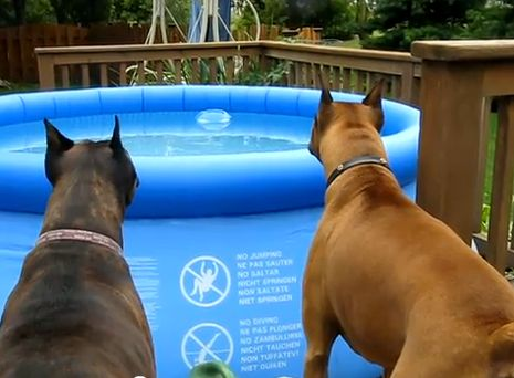 Nothing gets past Maverick and Baily when they're on watch! When they noticed the floater in the pool, they got spooked and are immediately ready to defend their home!