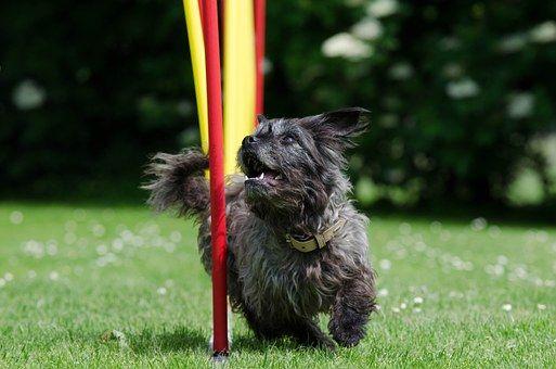 mischling slalom agility agility hundhund beschftigenhundehund freundlich hinterhofhundeausstellungkleine - Ideen Fr Kleine Hinterhfe Mit Hunden