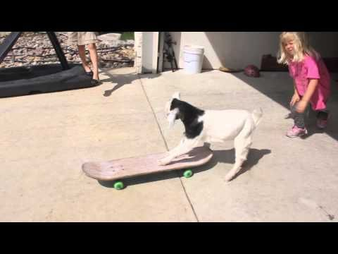 Tastefully Offensive: Lily the Goat Adorably Attempts to Ride a Skateboard