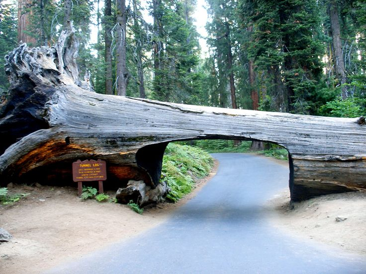"Visitors to Sequoia and Kings Canyon can drive through Sequoia Park's fallen ""Tunnel Log"" located along the Crescent Meadow Road in Giant Forest."