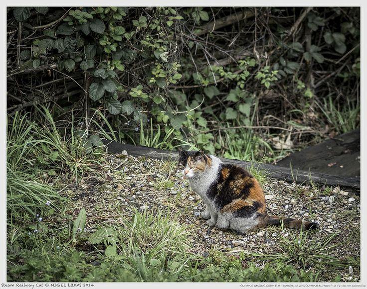 Steam Railway Cat