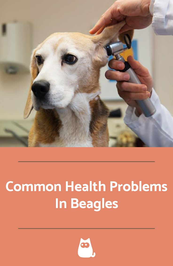 Common Health Problems In Beagles Beagle Most Popular Dog
