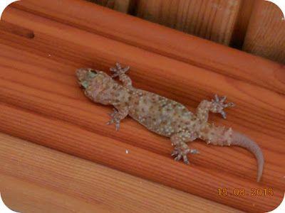 Natural, ca Aloe Vera: Jurnal de Thassos - 15 August 2015. Gecko