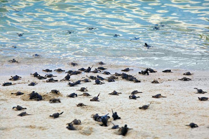 Havskildpadder og orangutanger
