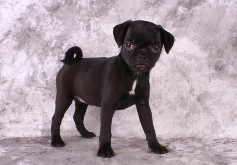 black puggle full grown - Google Search | Filbert ...
