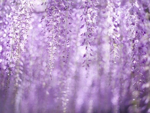 Обои Свисающие фиолетовые цветы, фото, картинки