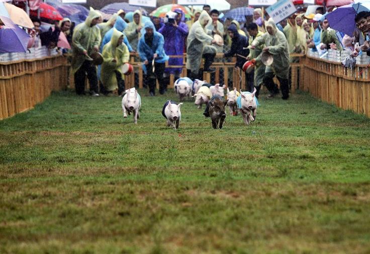 Coisa da china! Porquinhos chineses provam que sabem nadar e correr em evento esportivo - Fotos - R7 Bichos
