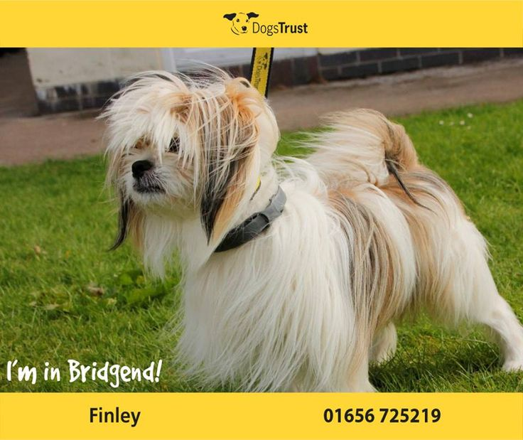Finley is a Shihtzu cross from Bridgend - just under 5 years old. Finley isn't a lapdog and loves to be running around and having lots of exercise and keeping busy or he will become bored, so he will need to keep his brain busy! He is quite sensitive and can be protective over his owner, so this will need to be managed carefully. He does mix with other dogs.