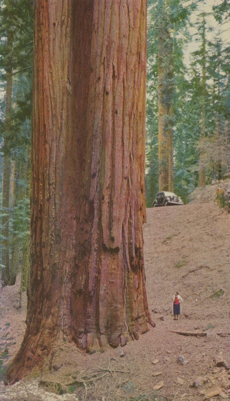 The majestic redwoods in an old postcard.
