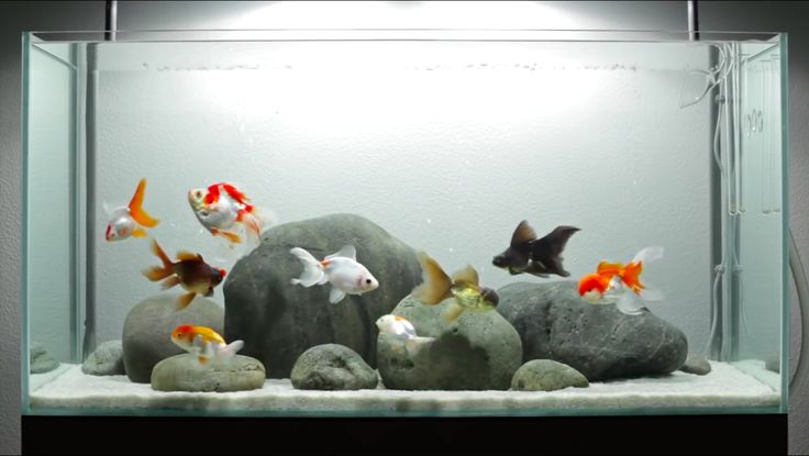 ♥ Fish Care Tips ♥  A Layout for Fancy Goldfish - ADGVibe  featured on the cover of the December 2011 issue of TFH (Tropical Fish Hobbyist) magazine