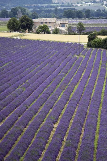 Francia, i campi di lavanda in piena fioritura - Corriere.it