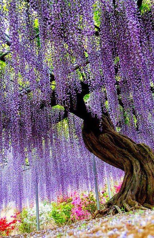 Wisteria Flower Tunnel in Tochigi, Japan – holidayspots4u