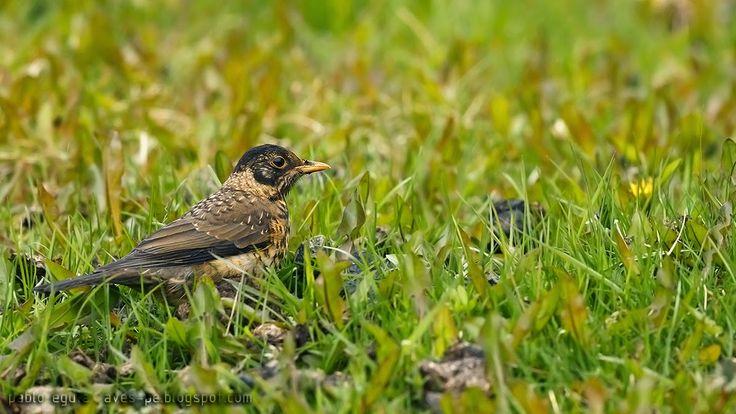 mis fotos de aves: Zorzal patagónico [Turdus falcklandii] Austral thr...