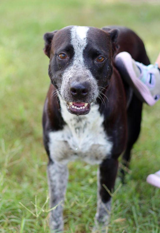 12 best Blue Heeler Dogs for Adoption images on Pinterest
