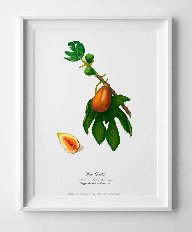 Figs. Watercolour Botanical art print plant poster vintage antique wall decor #Vintage