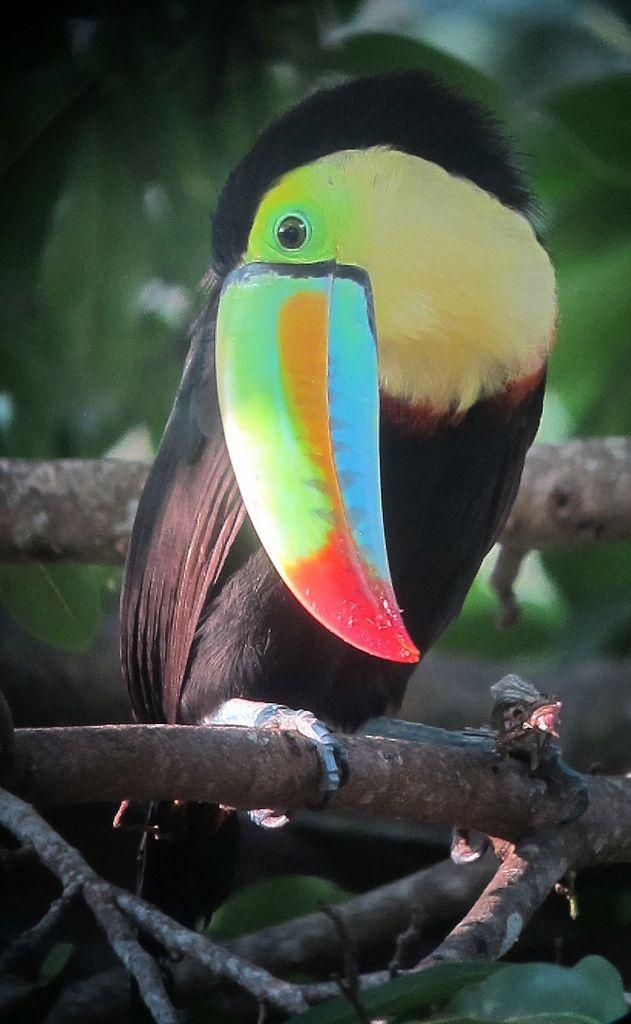 Ramphastos sulfuratus / Tucán caribeño / Keel-billed Toucan - Minca, Santa Marta, Colombia
