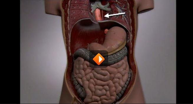Filmpje over de spijsvertering  http://www.schooltv.nl/video/de-spijsverteringsorganen-welke-weg-legt-het-voedsel-in-je-lichaam-af/#q=lichaam
