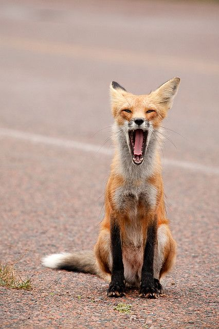 fox yawn: Animal Baby, Mondays, Fleas, Baby Animal, Baby Dogs, Red Foxes, Foxes Baby, Birds, Front Porches