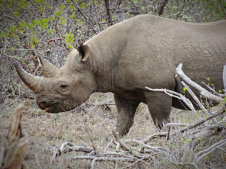 Black Rhino South Africa Rhinoceros Rhino