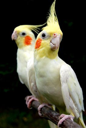 Cockatiel – What Makes Them Ideal As Pets ? Check it out by clicking on the image.