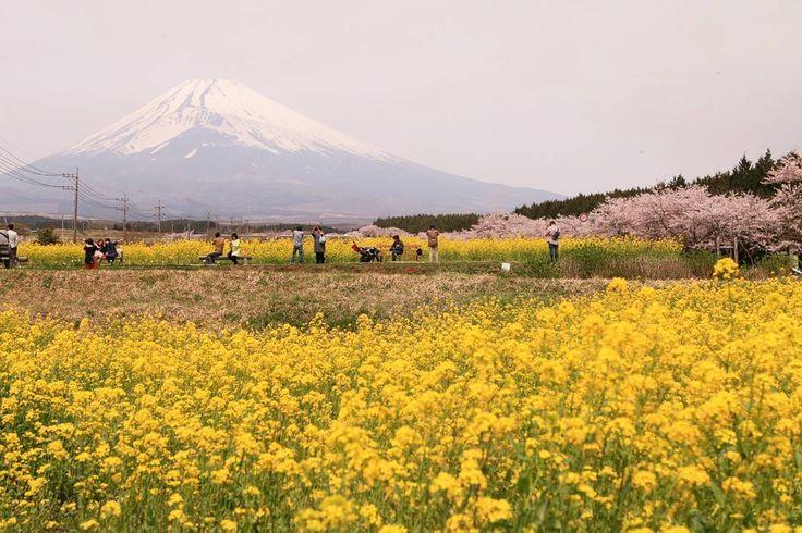 今日は#桜 と#富士山 の写真を撮りに御殿場の平和公園に高速使っていったのに法要で立入禁止でしたΣΣ(дlll)ガガーン!!. 代わりのいい撮影場所が近くにあって助かりましたε-()ホッ by shin81014