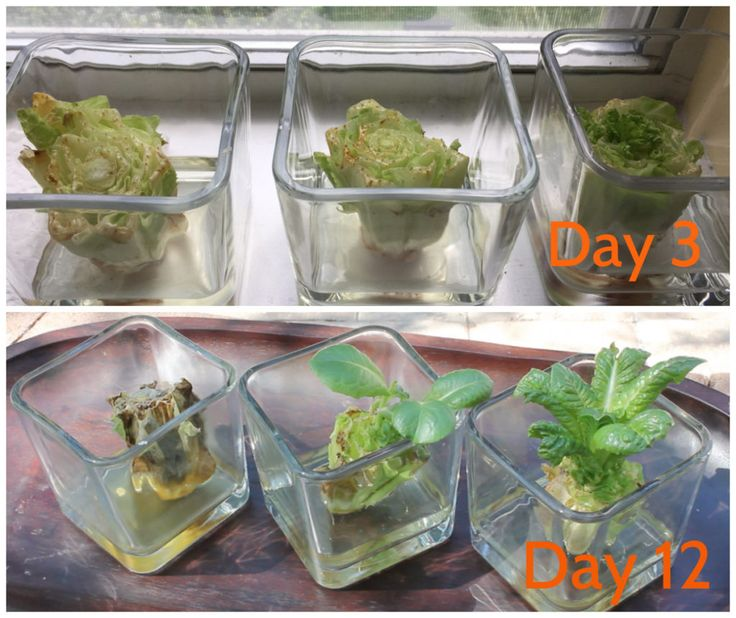 22 Foods You Can Regrow Again And Again From Kitchen: 17 Best Ideas About Regrow Lettuce On Pinterest