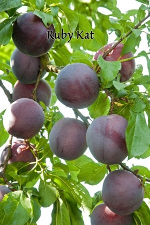 Ruby Kat Pluot® practically EVERY house in Australia had a plum tree when I was growing up! So easy to grow - crazily productive trees!