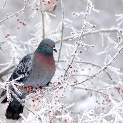 138 best snow birds images on pinterest beautiful birds. Black Bedroom Furniture Sets. Home Design Ideas